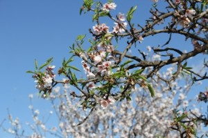 Mandorlo in fiore_01